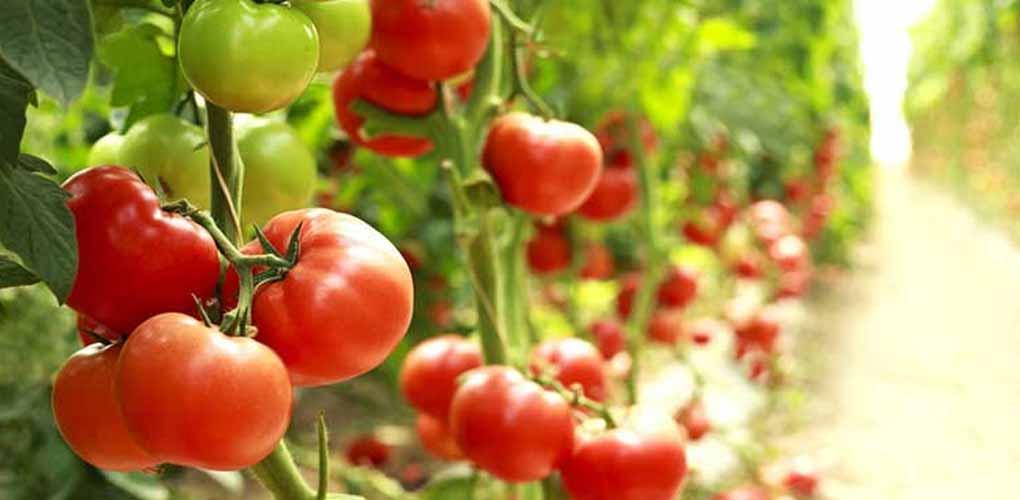 silmaca - Fertilizantes para engorde de Tomate – MAQVECA