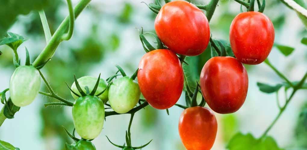 silmaca - Importancia del sustrato en el Tomate de engorde – MAQVECA